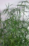 Cyperus_alternifolius_01